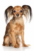 Russian Long Haired Toy Terrier