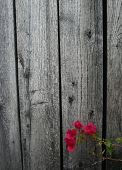 pic of shabby chic  - Flowering vine against weathered wood - JPG