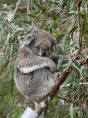 stock photo of eucalyptus trees  - Koala  - JPG