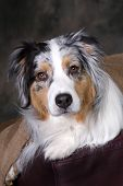 stock photo of australian shepherd  - Headshot of a beautiful blue merle Australian Shepherd - JPG