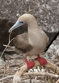 Red Footed Booby Building Nest