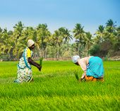 Thanjavour, India - February 13: An Unidentified The Indian Rural Women Works At Rice Field. India,