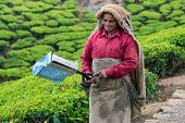 Munnar, India - February 18, 2013: An Unidentified Indian Woman Holding Scissors For Harvesting At T