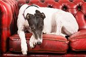 pic of greyhounds  - White Greyhound on a red sofa looking sad - JPG