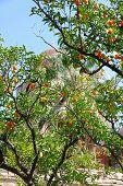 Italy. Sicily Island. Palermo City. Orange Tree Against The San Giovanni Degli Eremiti Church