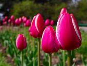 The dutch tulips