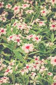 Beautiful Pink Flowers (catharanthus Roseus) With Vintage Effect.