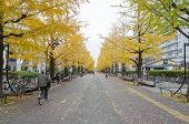 Yellow Ginkgo Along The Length Of Street