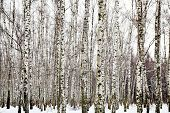 stock photo of birchwood  - white birch woods in cold winter day - JPG