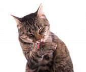 Tabby cat grooming herself, on white background