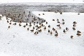 Flock Of Ducks On Ice In Frozen Lake