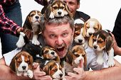 foto of puppy beagle  - The zonked  man and big group of a beagle puppies on white background - JPG