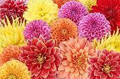 foto of flower shop  - Different types of dahlias - JPG