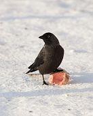 Jackdaw, Daw (corvus Monedula)