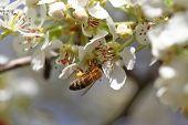 pic of pollen  - Honeybee harvesting pollen from blooming flowers - JPG