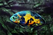 picture of freshwater fish  - Tropical freshwater fishes of Venezuela and Paraguay - JPG