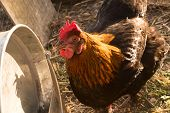 image of hen house  - White and black and red hens walking on rural yard - JPG