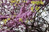 image of judas tree  - Spring flowering Judas Tree bright purple flowers and small leaves on the stem