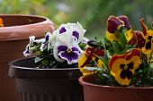 image of violet flower  - Garden violet blooms profusely lilac flowers  - JPG
