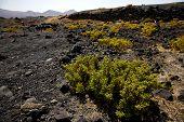 foto of volcanic  - plant flower bush timanfaya in los volcanes volcanic rock stone sky hill and summer lanzarote spain - JPG