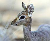 stock photo of dick  - Dik Dik gazelle in the savannah of Africa - JPG
