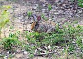 pic of hare  - Hare in the wild on the island of Sri Lanka