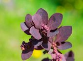 picture of barberry  - burgundy sprout bush barberry ornamental garden plants - JPG