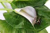 foto of calla  - white calla lily and wedding rings on green leaves close up - JPG