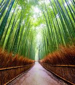 picture of bamboo forest  - Path to bamboo forest Arashiyama Kyoto Japan - JPG