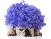 pic of wig  - funny dog  - JPG