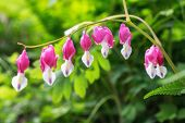image of lyre-flower  - Bleeding heart flowers blossoming in a mountain hill side in South Korea - JPG