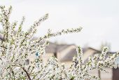 picture of cherry  - Cherry blossom in full bloom - JPG
