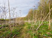 picture of cloudy  - Pathway among the thickets of hogweed - JPG