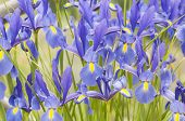 pic of purple iris  - Beautiful purple irises blooming in spring time - JPG