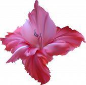 stock photo of gladiolus  - illustration with gladiolus flower isolated on white background - JPG