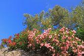 foto of oleander  - blooming oleander and olive trees mediterranean plants - JPG
