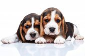 stock photo of puppy beagle  - The two beagle puppies lying on the white background - JPG