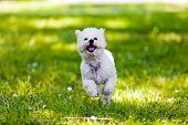 stock photo of irresistible  - cute small bichon running in the park notice shallow depth of field - JPG