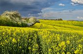 picture of rape-field  - Spring landscape with rape field and blooming trees