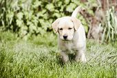 foto of golden retriever puppy  - cute little golden retriever puppy - JPG