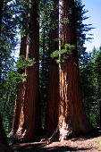 The Bachelor And Three Graces, Mariposa Grove
