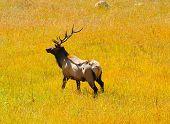Elk in the Sunlight