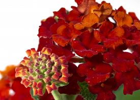stock photo of lantana  - The flowers of a beautiful late summer Lantana against a white background - JPG