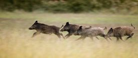 stock photo of boar  - Group of wild boars running in high grass in summer time panning image technique - JPG