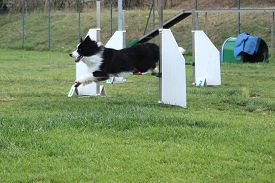 image of border terrier  - a border collie that jump an obstacle of dog agility  - JPG